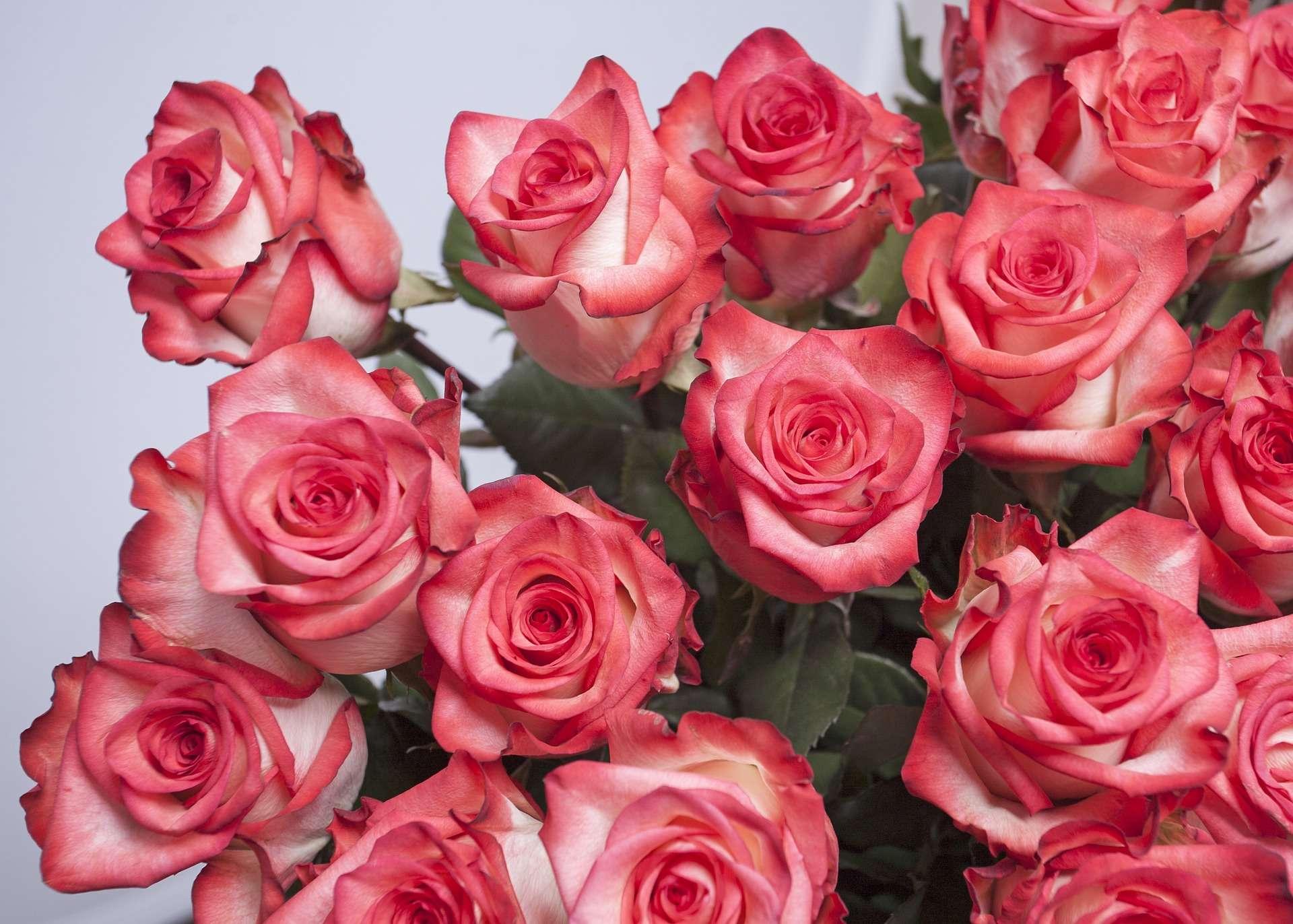 rose-966861_1920
